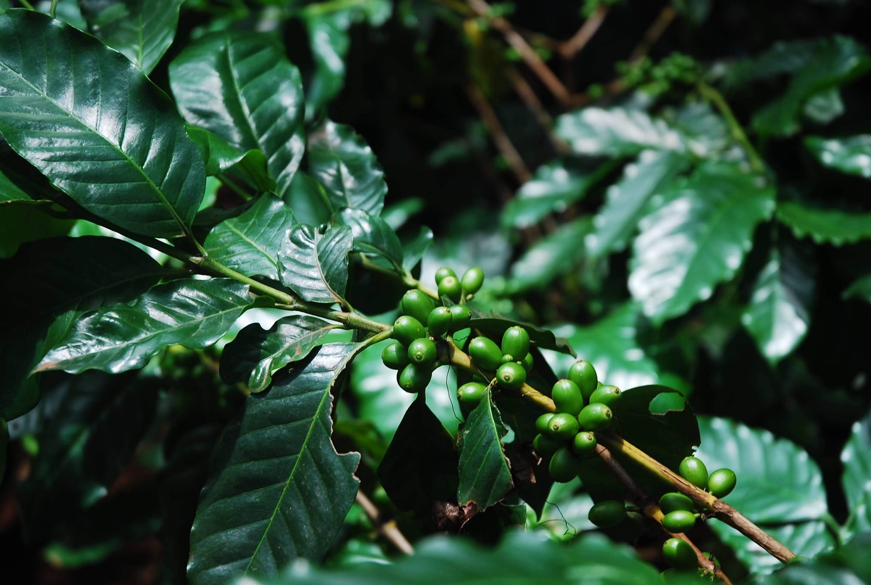 南ラオスの小さなオーガニックコーヒー農園