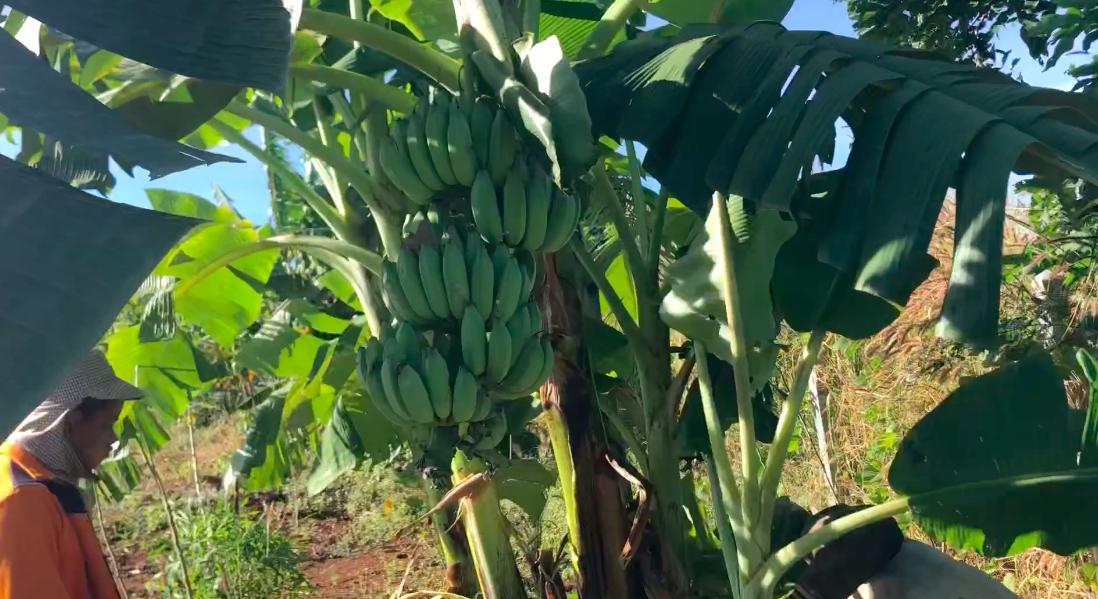 ラオスのシノムノー村ではどうやって美味しいバナナを無肥料無農薬で育てるのか?
