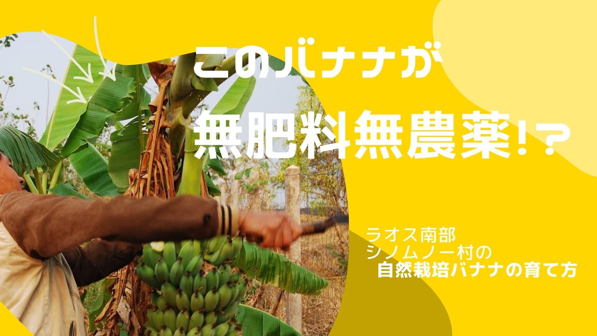 シノムノー村の自然栽培バナナの植え方